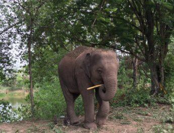 "((POLICE NEWS update PLUS))…""เลขาธิการ TSPCA ให้ความคิดเห็นส่วนตัว กรณี ช้างพลายขนุน ถูกยิงเสียชีวิต"""